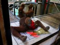 Создатели Microsoft обучили орангутанов играть ввидеоигры