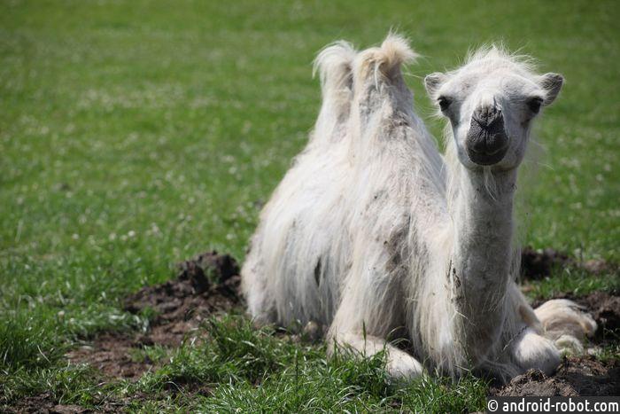 Верблюды помогли ученым сделать новое лекарство отрака