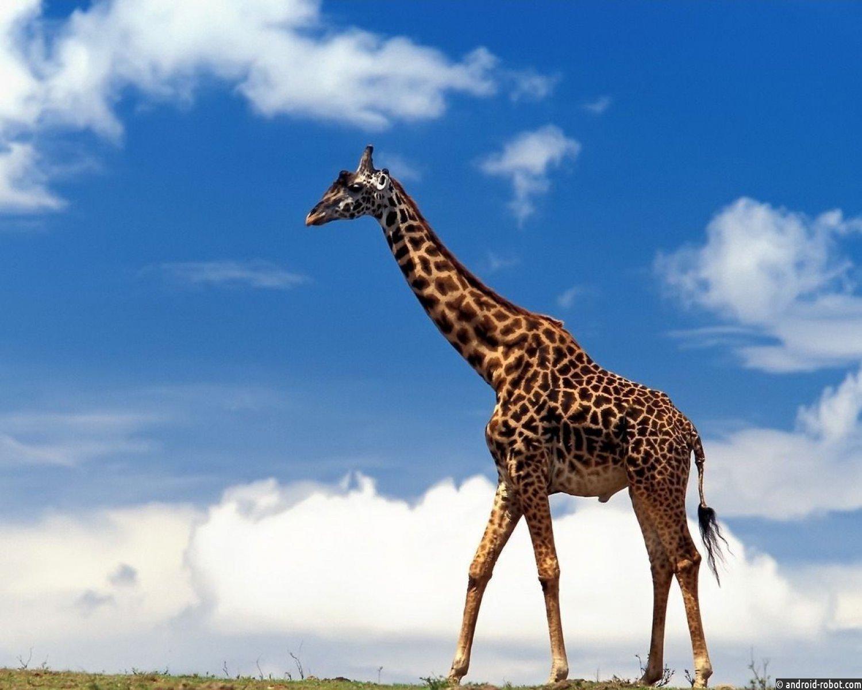 Палеонтологи узнали, как выглядели предки жирафов 11 млн. лет назад