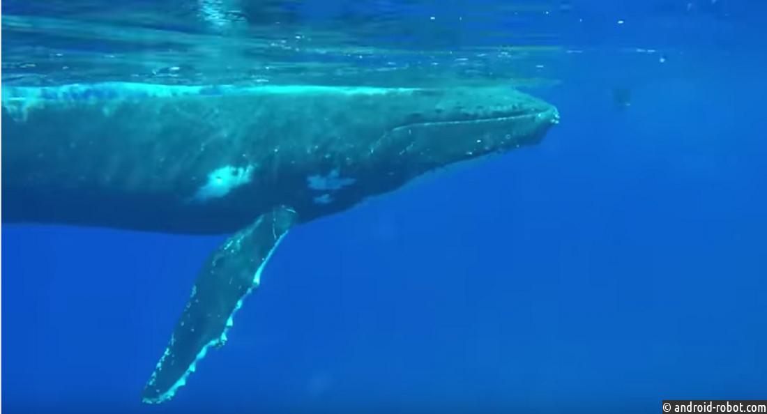 Горбатый кит спас 63-летнюю ныряльщицу оттигровой акулы вТихом океане