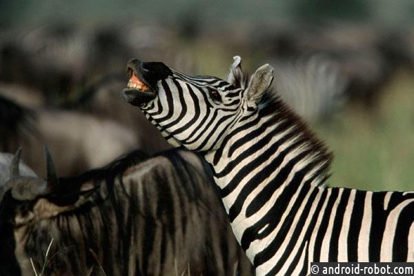 Ученые опровергли Дарвина: черточки зебрам нужны незаэтим