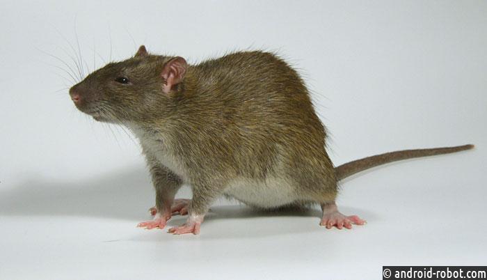 Генетики США вывели крыс способных находить взрывчатку