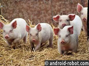 Оптимисты ипессимисты даже есть среди свиней