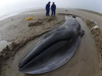 Исследователи китов: косатки Пьюджет-Саунд голодают