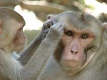 Во Флориде растет популяция диких обезьян со смертельным вирусом герпеса