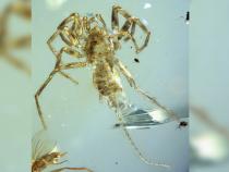 Вазиатском янтаре найдены хвостатые пауки возрастом 100 млн лет