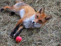 Учёные раскрывают новые ключи к истокам одомашнивания лисиц