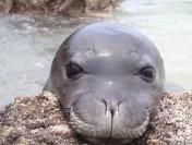 Морские угри прячутся в носы тюленей исчезающего вида