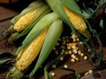 Многочисленные доказательства указывают на сложное эволюционное наследие кукурузы в Южной Америке