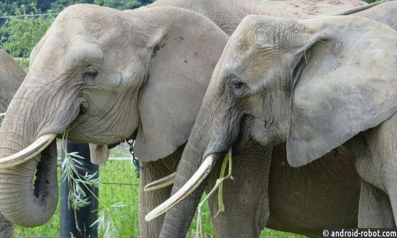 Вес слонов, живущих в зоопарках, колеблется в течение всей их взрослой жизни