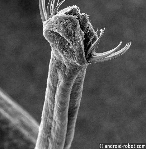 Chaetognaths или стрелки-черви демонстрируют неоднозначный набор особенностей развития