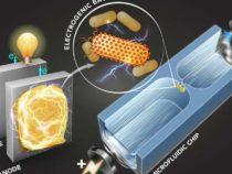 Разработана методика выявления бактерий, вырабатывающих электричество