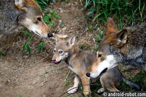 ДНК вымиршего вида красных волков найден в современных волках