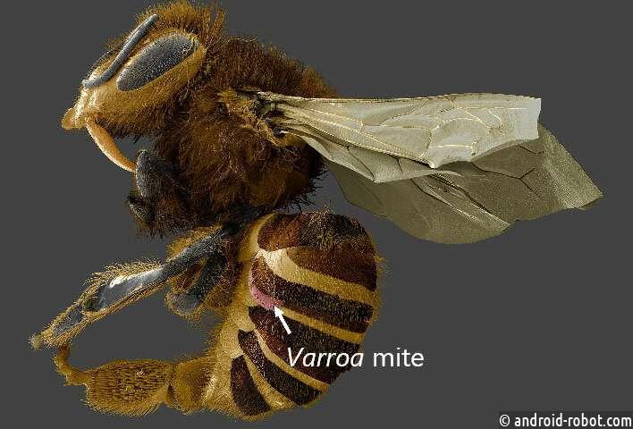 Паразиты медоносной пчелы питаются жировыми органами, а не кровью