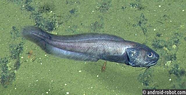 Биологи обнаруживают глубоководных рыб, живущих практически без кислорода