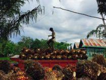 Производство пальмового масла приводит к уничтожению лесов