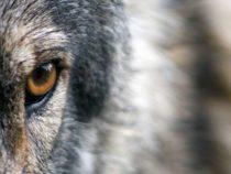 Судья поддерживает защиту серых волков в Калифорнии