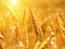 Пшеницу можно сделать безопасной для людей, используя редактирование генов