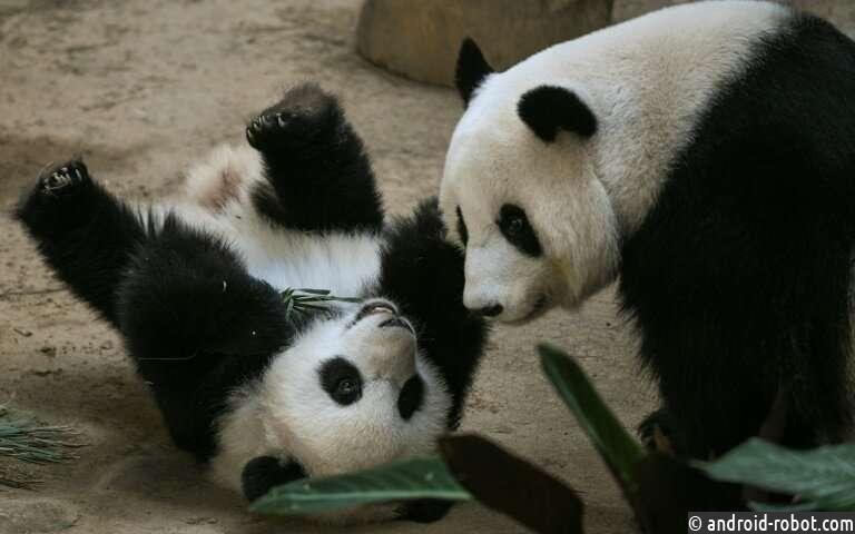 Панда празднует первый день рождения в малазийском зоопарке