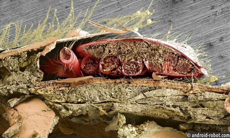 В этом поперечном сечении брюшка медоносной пчелы виден паразитический клещ варроа (оранжевый), расположенный между брюшными пластинками пчелы, где клещ питается жировой тканью медоносной пчелы