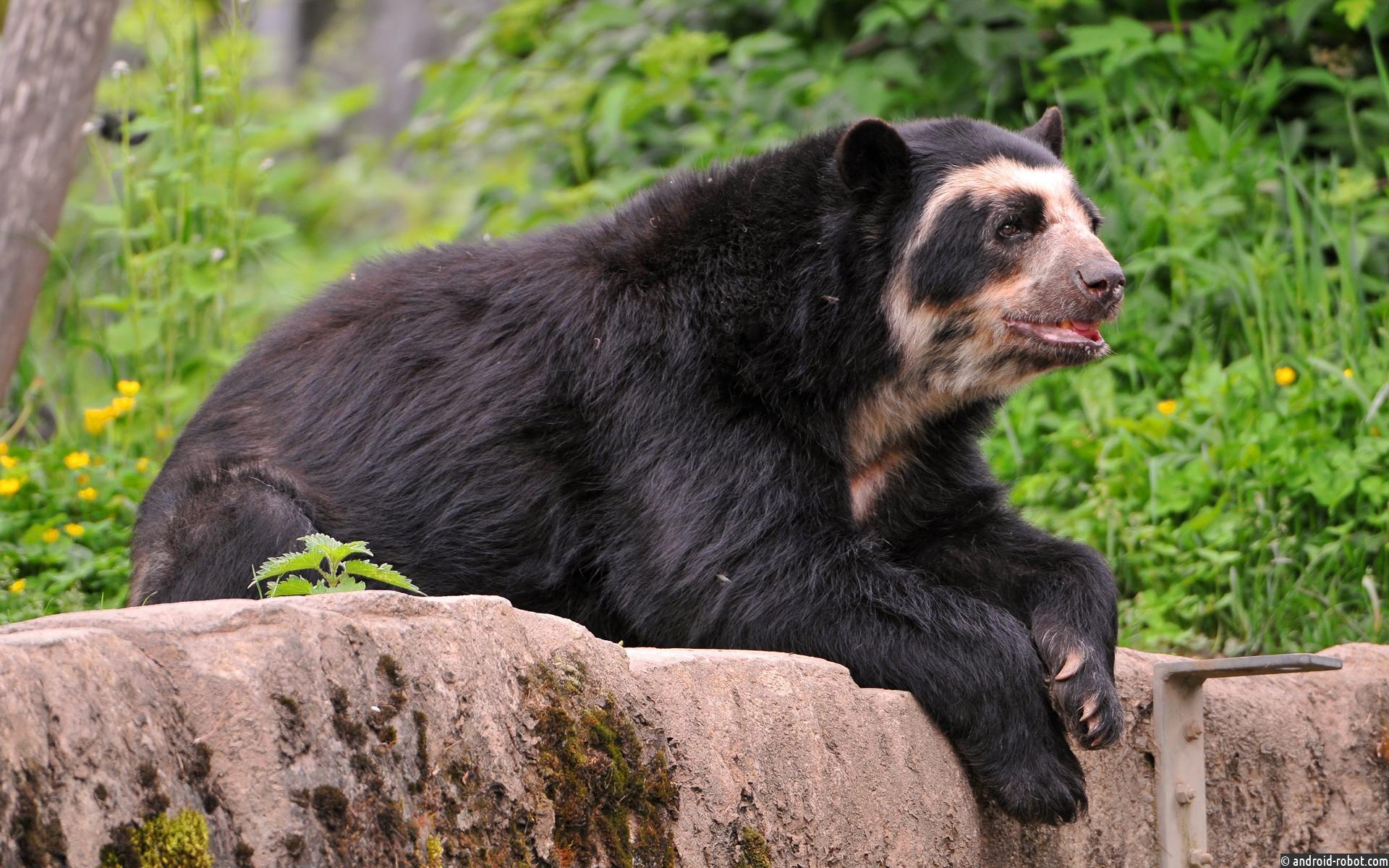 Новое исследование подчеркивает важность водных ресурсов для андских медведей