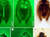 Две крошечные окаменелости жука предлагают подсказки об эволюции и биогеографии