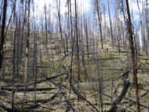 Леса Йеллоустона могут стать полями