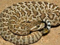Яд гремучих змей более распространен, чем ожидалось