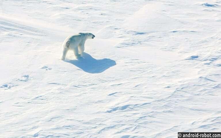 Российский арктический архипелаг бьет тревогу по поводу агрессивных белых медведей