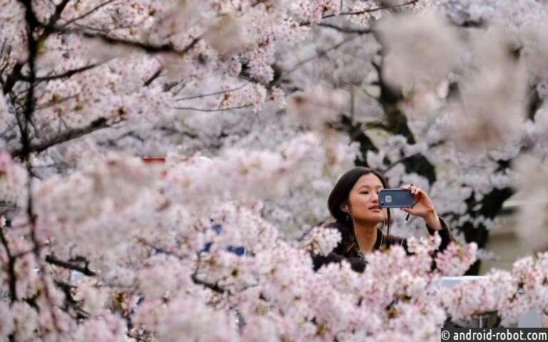 Искусство и наука о цветении сакуры в Японии