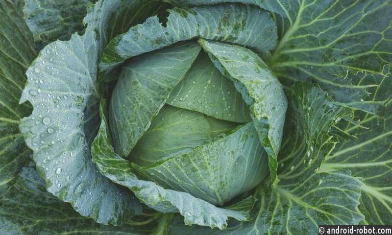 Биотехнология для спасения брюссельской капусты найдена учеными