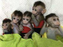 Клонирование обезьян для исследований ставит людей на скользкий этический путь