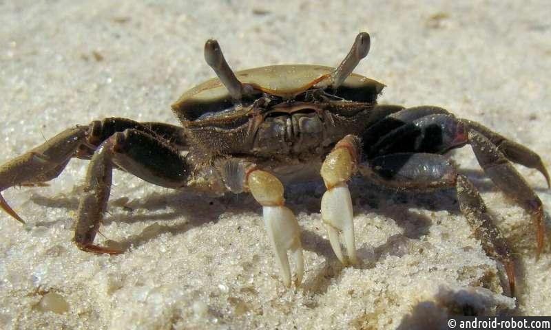 Песчаные крабы имеют преимущество в виде норы в борьбе за размножение
