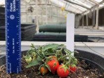 Космонавты смогут скоро выращивать помидоры SPACE