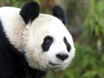 Единственная гигантская панда в Великобритании искусственно осеменена в зоопарке