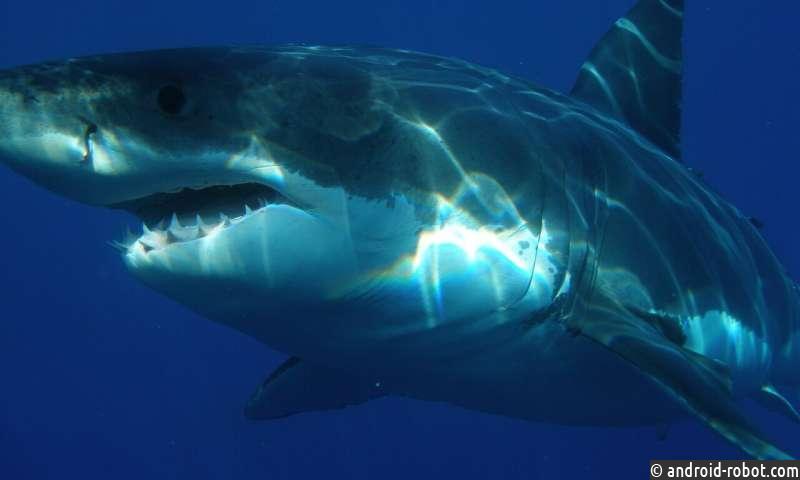 Новое исследование показывает, что яды в токсичных концентрациях текут по венам больших белых акул
