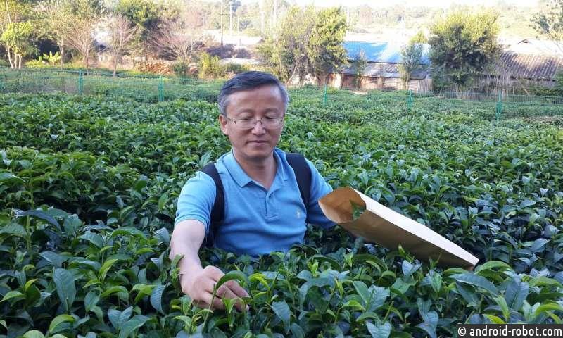Геном чайного дерева содержит подсказки о том, как один лист производит так много вкусов