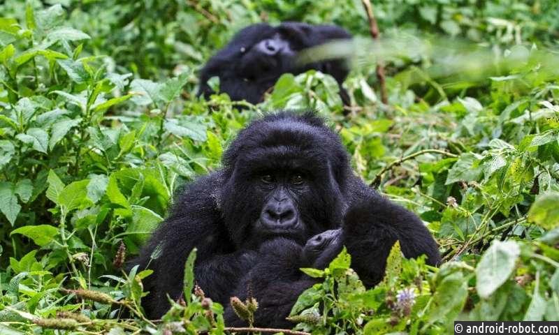 Четыре редких горных гориллы были убиты молнией в Уганде