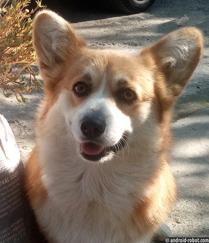 собаки породы корги
