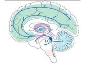 Нейробиологи утверждают, что область мозга является ключевым местом обучения